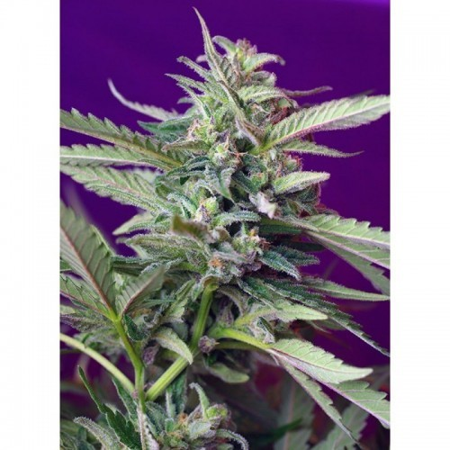 S.A.D Sweet Afgani Delicious Auto